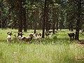 Poa pratensis - Kentucky bluegrass with bighorn sheep.jpg