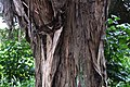 Podocarpus totara in Auckland Botanic Gardens.jpg