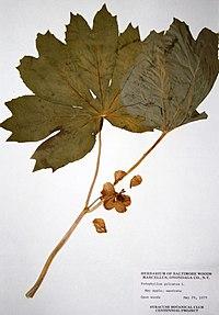 Podophyllum peltatum BW-1979-0529-9992.jpg