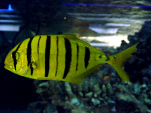 Golden trevally - A juvenile golden trevally displaying the prominent dark bands