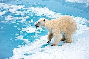 Polar beir