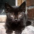 Polish Kitten.jpg