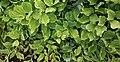 Polygonatum odoratum 2.jpg