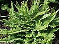 Polystichum setiferum2.jpg