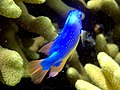 Pomacentrus sp. - Damsel fish (11006832814).jpg