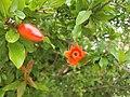 Pomegranate flower 01.jpg