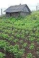 Pommes de terre - panoramio.jpg