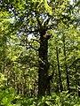 Pomnik Przyrody - Drzewo. - panoramio (1).jpg