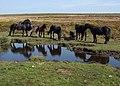 Ponies on Haytor Down - geograph.org.uk - 1497184.jpg
