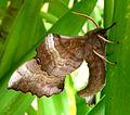 Poplar Hawk Moth. Underside. Lathoe populi. - Flickr - gailhampshire.jpg