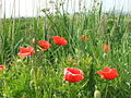 Poppies - geograph.org.uk - 185185.jpg