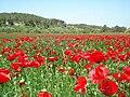 Poppy field near Beit Guvrin.jpg