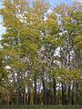 Populus × canescens (habitus).jpg