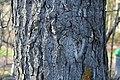 Populus balsamifera Oulu 02.jpg