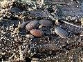 Porcellio scaber 109636446.jpg