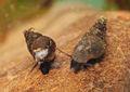 Potamopyrguis antipodarum A MRKVICKA.JPG