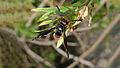 Potter wasp with black shoulders (16071006528).jpg