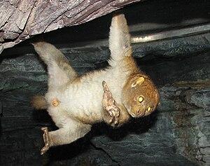 Potto - Image: Potto Cincy Zoo