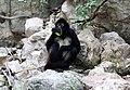 Primates - Ateles geoffroyi - 1.jpg
