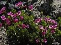 Primula suffrutescens - Flickr - pellaea.jpg