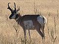 Pronghorn - Antelope Island.jpg