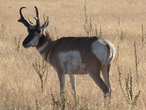 Pronghorn - Antelope Island