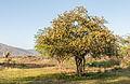 Prosopis juliflora in Margarita Island.jpg
