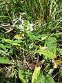 Prunella laciniata sl12.jpg