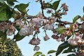 Prunus Sato-Zakura 'Shirotae' in the Jardin des Plantes, Paris 002.JPG