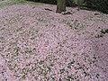Prunus en fleurs au parc de l'Aulnaye (pétales tombés).jpg