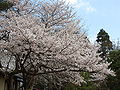 Prunus sp in Takaoka Kojo Park 07.jpg