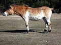 Przewalski's horse demonstrating the flehmen response.jpg