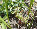 Pseudofumaria lutea 2017-04-20 8402.jpg