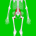 Psoas major muscle10.png