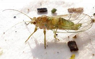 Sternorrhyncha - Image: Psylla alni male
