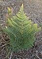 Pteridium aquilinum california kz01.jpg