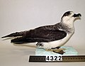 Pterodroma cervicalis (AM LB4322-4).jpg