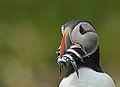 Puffin looking worried (9384136103).jpg