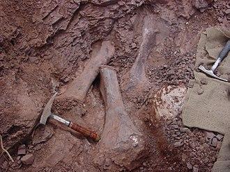Pulanesaura - Tibiae and ischium during excavation