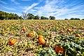 Pumpkin Patch in Colorado (44618082294).jpg