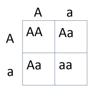 Genetic carrier - Punnett square depicting a cross between two genetic carriers. The chance of two genetic carriers having a child with two copies of the recessive gene, thus being homozygous recessive, is 25%.