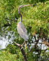 Purple Heron (Ardea purpurea) in Hyderabd W IMG 7558.jpg