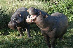 Un couple d'hipopotames nains, au Kenya