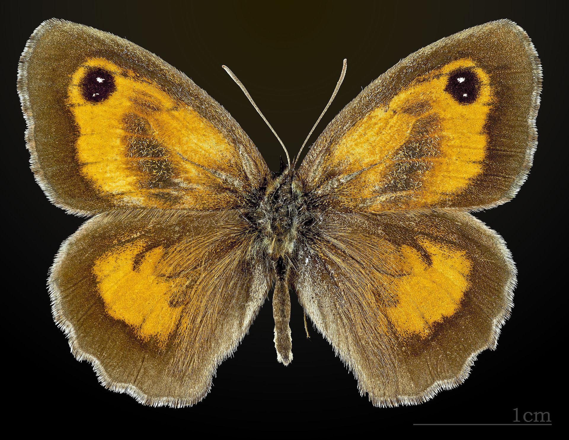 Pyronia tithonus - Wikimedia Commons