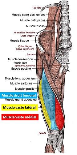 Muscle quadriceps fémoral — Wikipédia