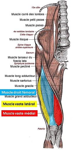 Quadriceps-couleur def