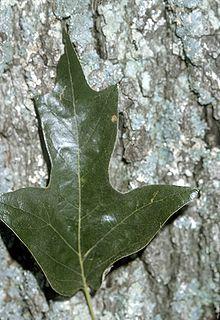 <i>Quercus falcata</i> species of plant