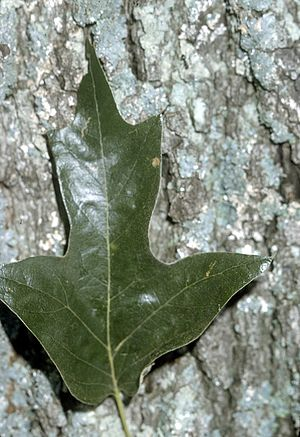 Quercus falcata - Leaf and bark