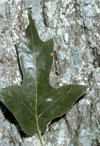 Quercus falcata - Leaf and bark