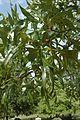 Quercus laevis (23777005499).jpg